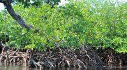 Mangrove-di-kawasan-Logas-Guruapin-yang-masih-terjaga- foto/Mahmud Ici
