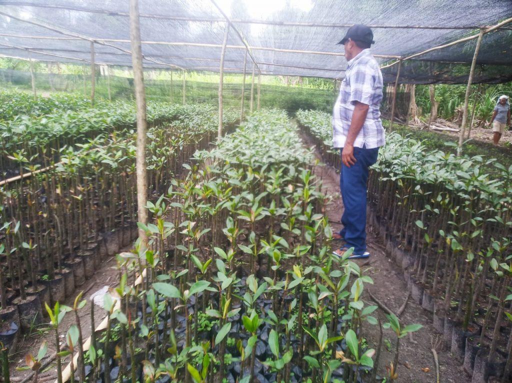 Pembibitan Mangrove yang dilakukan oleh warga Kao Halmahera Utara