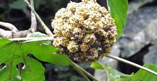 Pohon  Toyom  yang banyak tersebar di khutan Halmahera Maluku Utara